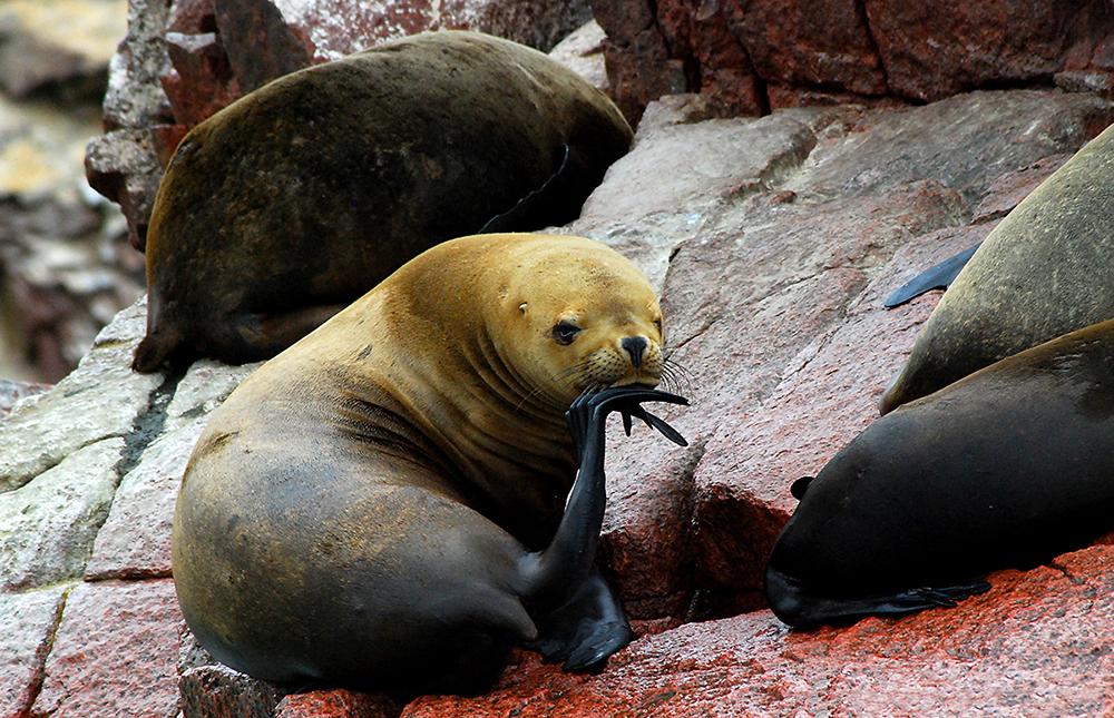 Wildlife in Ballestas Islands - LAS ADVENTURE