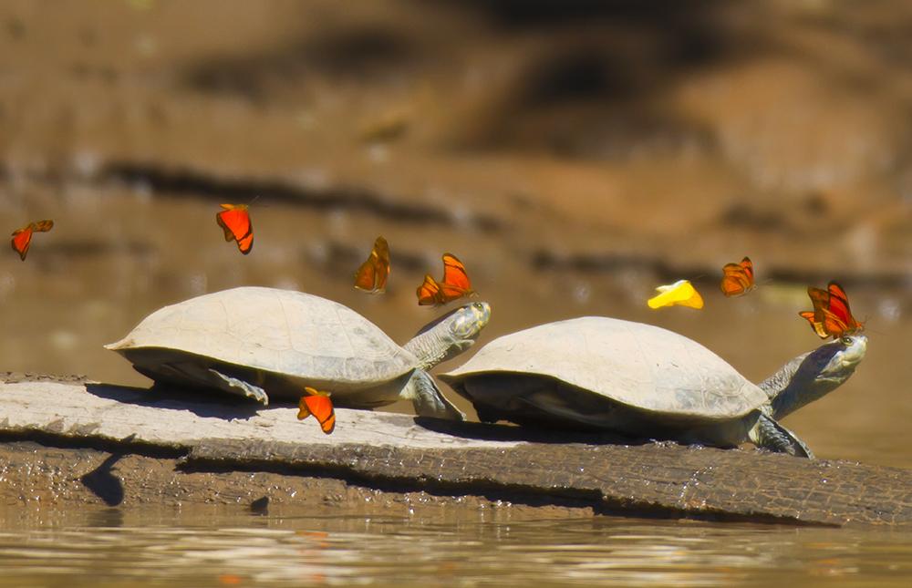 turtles Peru