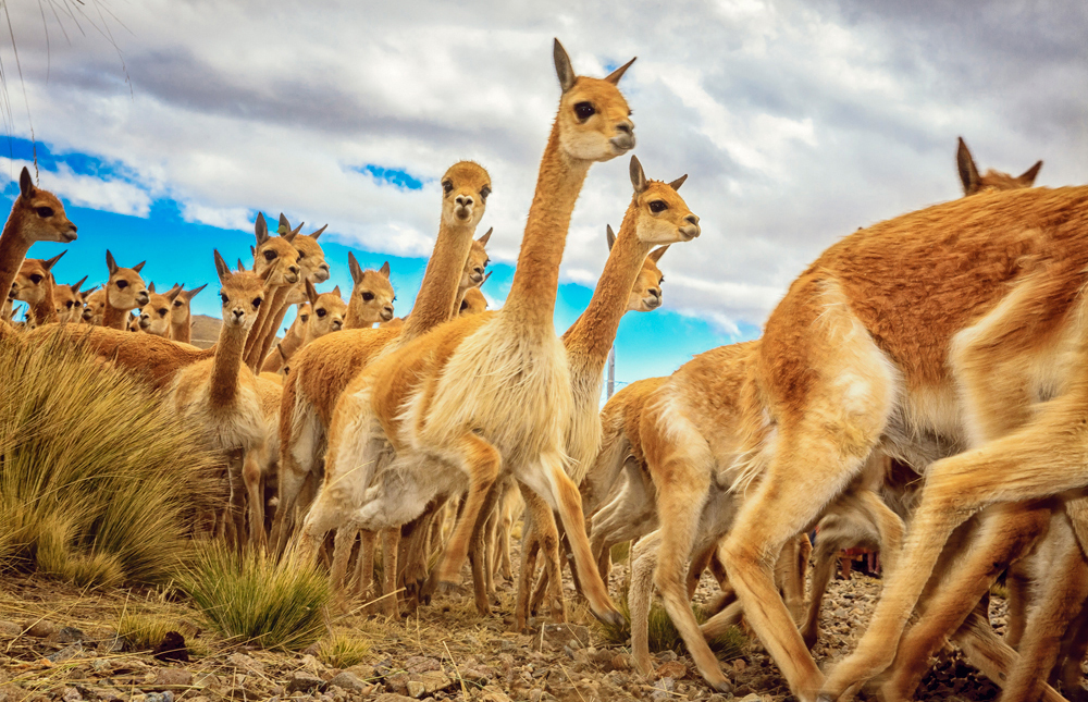 Wildlife in Pampas Galeras - LAS ADVENTURE